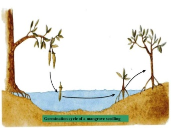 mangrove-ecosystem-32-728